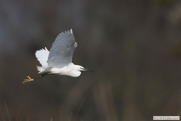 Aigrette  garzette 5 HD - Pascal percheron